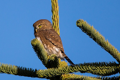 Northern Pygmy-Owl near Johnston Ridge at the Mount St. Helens National Volcanic Monument in Washington.
