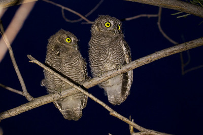 Juvenile Western Screech-Owls.  Photo taken at the Lmuma Creek Recreation Area along the Yakima River near Ellensburg, Washington.