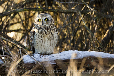 Short-eared Owl on a frosty log near Stanwood, Washington.