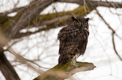 Great Horned Owl near the Frenchman Coulee in Grant County, Washington.