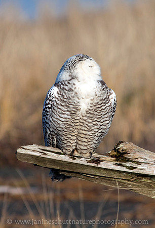 Snowy Owl at Damon Point State Park in Ocean Shores, Washington.  Photo taken on Dec. 19, 2011.