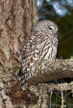 Barred Owl roosting in a Douglas fir.  Photo taken near Bremerton, Washington.