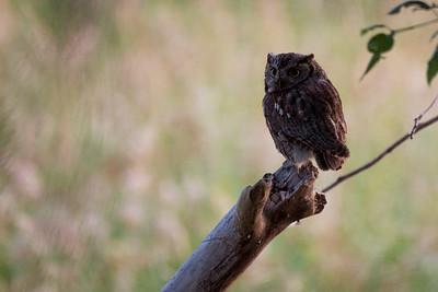 Adult Western Screech-Owl.  Photo taken at the Lmuma Creek Recreation Area along the Yakima River near Ellensburg, Washington.