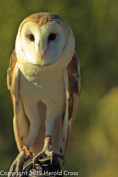 A Barn Owl taken Feb. 25, 2012 in Tucson, AZ.