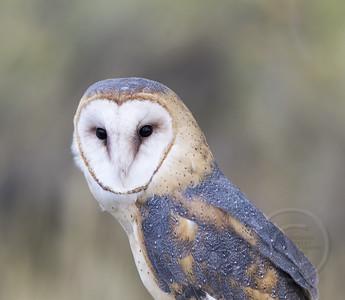 Barn Owl Posing
