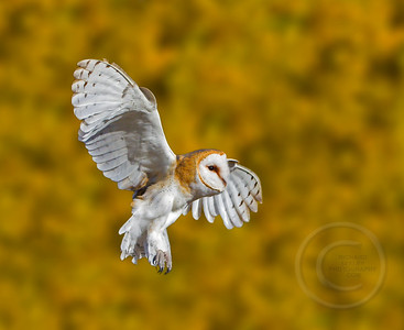 Barn Owl Braking