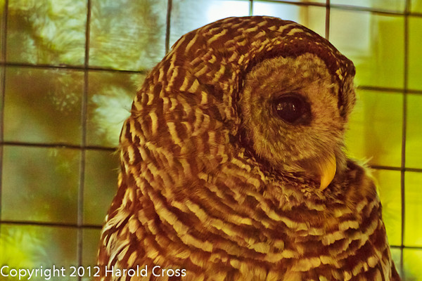 A Barred Owl taken Jun. 27, 2012 in Salt Lake City, UT.