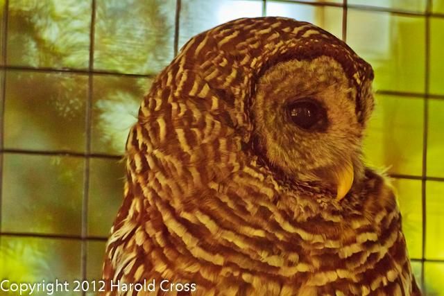 A Barred Owl taken Jun. 27, 2012 in Salt Lake City, UT.