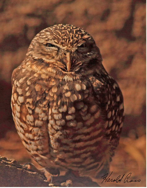 A Burrowing Owl taken Feb 13, 2010 in Phoenix, AZ.