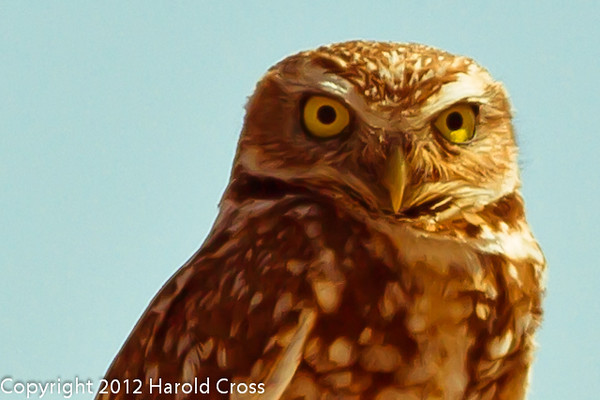 A Burrowing Owl taken April 28, 2012 near Portales, NM.