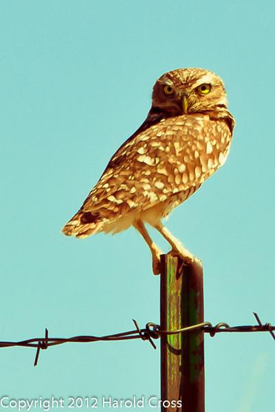 A Burrowing Owl taken April 28, 2012 near Portales, NM.