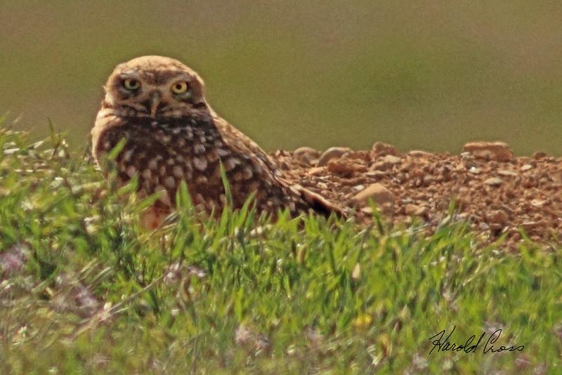 A Burrowing Owl taken April 27, 2011 near Fruita, CO.