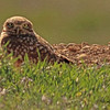 A Burrowing Owl taken April 27, 2011 near Fruita, CO.