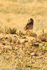 A Burrowing Owl taken Sep. 8, 2011 near Fruita, CO.