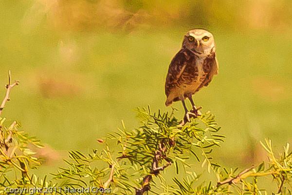 A Burrowing Owl taken July 17, 2011 near Portales, NM.