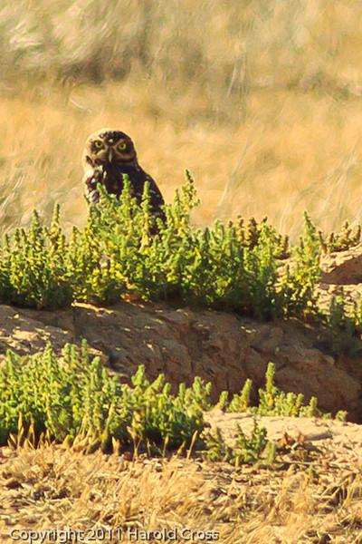 A Burrowing Owl taken Sep. 8, 2011 near Fruita, CO.