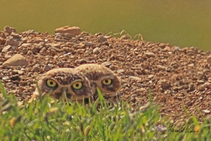 Burrowing Owls taken April 28, 2011 near Fruita, CO.