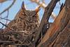 A Great Horned Owl taken April 11, 2011 in Grand Junction, CO.