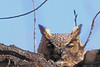A Great Horned Owl taken Apr 7, 2010 in Grand Junction, CO.