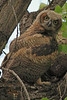 A Great Horned Owl taken May 18, 2010 in Grand Junction, CO.