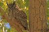 A Great Horned Owl taken April 27, 2011 near Fruita, CO.