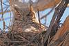 A Great Horned Owl taken Apr. 5, 2011 in Grand Junction, CO.