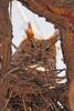 A Great Horned Owl taken Apr. 4, 2011 in Grand Junction, CO.