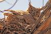 Great Horned Owls taken April 16, 2011 in Grand Junction, CO.