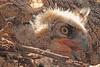 A Great Horned Owl taken April 16, 2011 in Grand Junction, CO.
