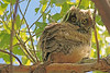 A Great Horned Owl  taken May 12, 2010 in Grand Junction, CO.