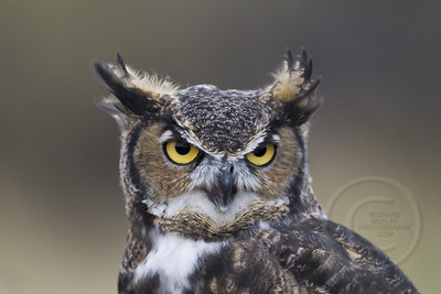 Great Horned Owl Posing