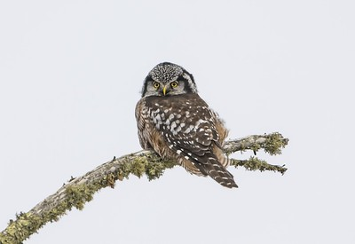 Hawk Owl Focused