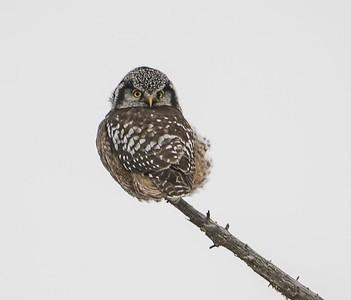 Hawk Owl Huddled