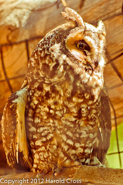 A Long-eared Owl taken Jun. 27, 2012 in Salt Lake City, UT.