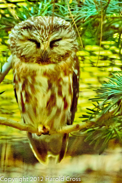 A Northern Saw-whet Owl taken Jun. 27, 2012 in Salt Lake City, UT.