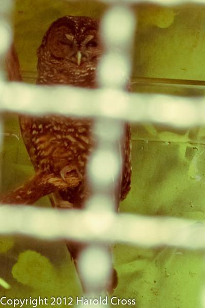 A Northern Spotted Owl taken Jun. 20, 2012 in Eureka, CA.