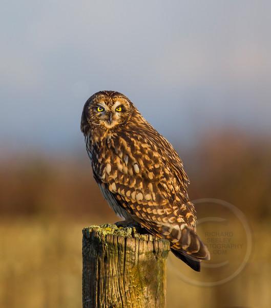 Short-Eared Owl at Sunrise