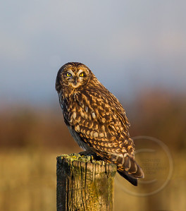 Short-Eared Owl at Sunrise