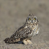 Short-Eared Owl Long Look
