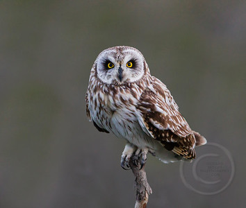 Short Eared Owl Focused