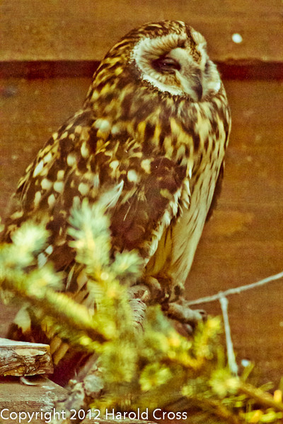 A Short-eared Owl  taken Jun. 27, 2012 in Salt Lake City, UT.