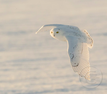Snowy Left Wing Down