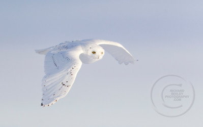 Snowy Right Wing Down