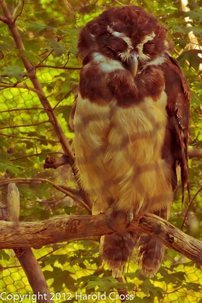 A Spectacled Owl taken Jun. 27, 2012 in Salt Lake City, UT.