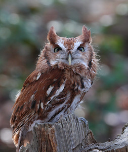 Eastern Screech-Owl (Red Morph)