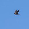 Peregrine Falcon - Vandrefalk