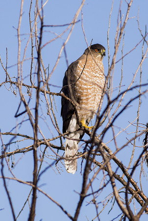 Cooper's Hawk near the Frenchman Coulee in Grant County, Washington.