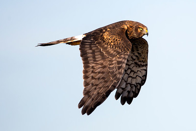 Female Northern Harrier near Sequim, Washington.