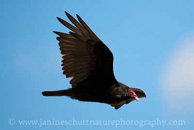 Turkey Vulture fly-by. Photo taken at Dry Falls State Park near Coulee City, Washington.