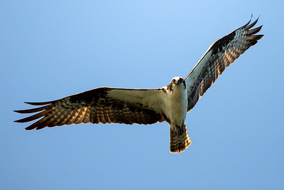 Osprey soaring above Point No Point County Park in Hansville, Washington.